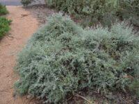 Enchylaena tomentosa - Ruby Saltbush