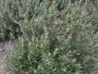 Gastrolobium celsianum - Swan River Pea