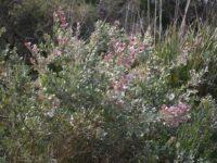 Adenanthos cuneatus - Jug Flower