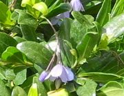Billardiera heterophylla - Bluebell Creeper used to be known as Sollya