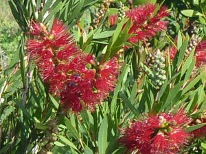 Callistemon viminalis 'Little Caroline' - bottlebrush