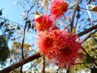 Eucalyptus caesia 'Silver Princess' beautiful gum blossom