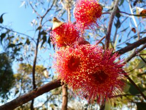 Eucalyptus caesia 'Silver Princess' beautiful gum blossom