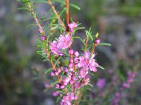 Hypocalymma robustum - Swan River Myrtle