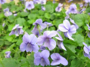 Viola hederaceae 'Monga Magic' is a great groundcover for moist areas