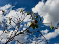 Cochlospermum fraseri Kapok Tree