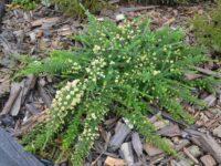Grevillea lanigera fine leaf form