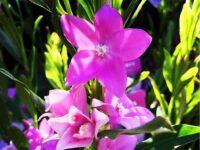 Crowea saligna 'Large Flower'