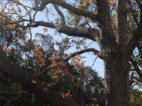 Toona ciliata - Red Cedar