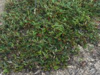 Grevillea 'Aussie Crawl' is a good groundcover plant