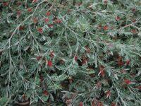 Grevillea 'Red Coral'