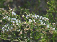 Micromyrtus ciliata - Fringed Honey Myrtle