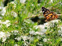 butterfly on babingtonia flowers