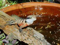 water dragon visiting the garden