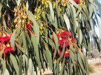 Eucalyptus leucoxylon 'Euky Dwarf' is a great street tree