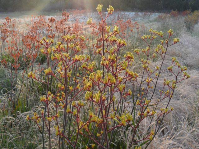 Anigozanthos 'Landscape Yellow'