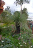 xanthorrheoa blue gum everlasting daisies australian native landscaping