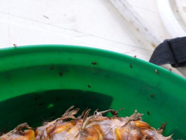 Cluster of vinegar flies on a composting bucket