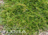 Acacia aculimatissima - snake wattle