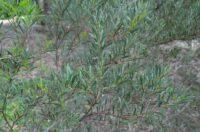 Acacia alcockii - wattle