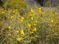 Acacia ashbyae - Ashby's wattle