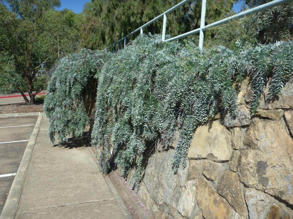 Acacia Baileyana Prostrate Cootamundra Wattle Gardening With Angus