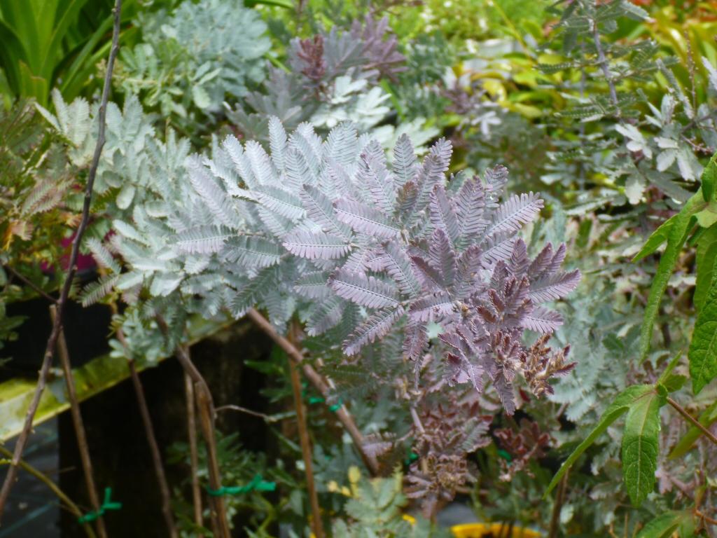 Acacia baileyana purpurea cootamundra wattle