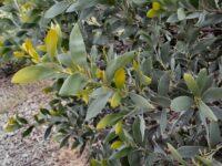 Acacia binervia - myall wattle