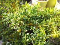 Acacia buxifolia prostrate - boxleaf wattle