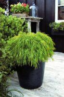 Acacia cognata river-wattle 'Fettucini'