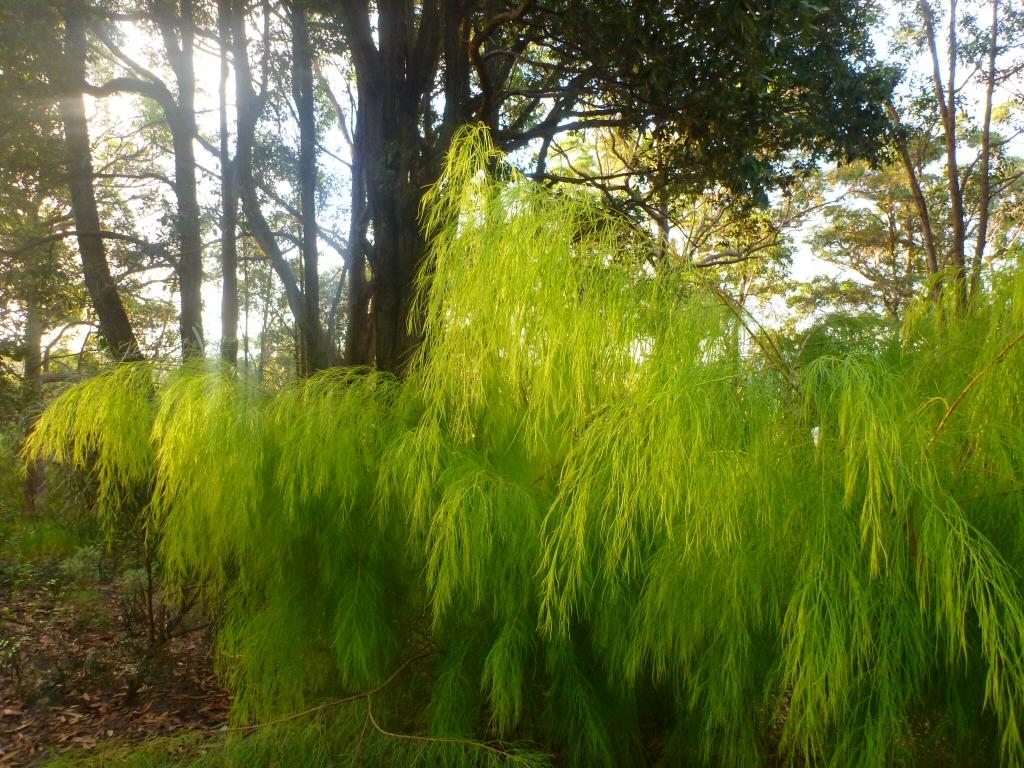 Acacia cognata - river wattle 'Lime Majik'