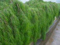 Acacia cognata 'Waterfall' is a cascading australian plant