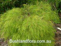 Acacia cognata wattle 'Lime Cascade'