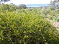 Acacia congesta - wattle