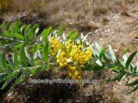 Acacia covenyi - blue bush wattle