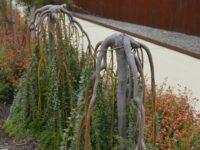 Acacia cultriformis knife blade wattle 'Cascade'