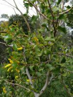 Acacia denticulosa - sandpaper wattle