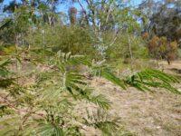 Acacia glaucocarpa - feathery wattle