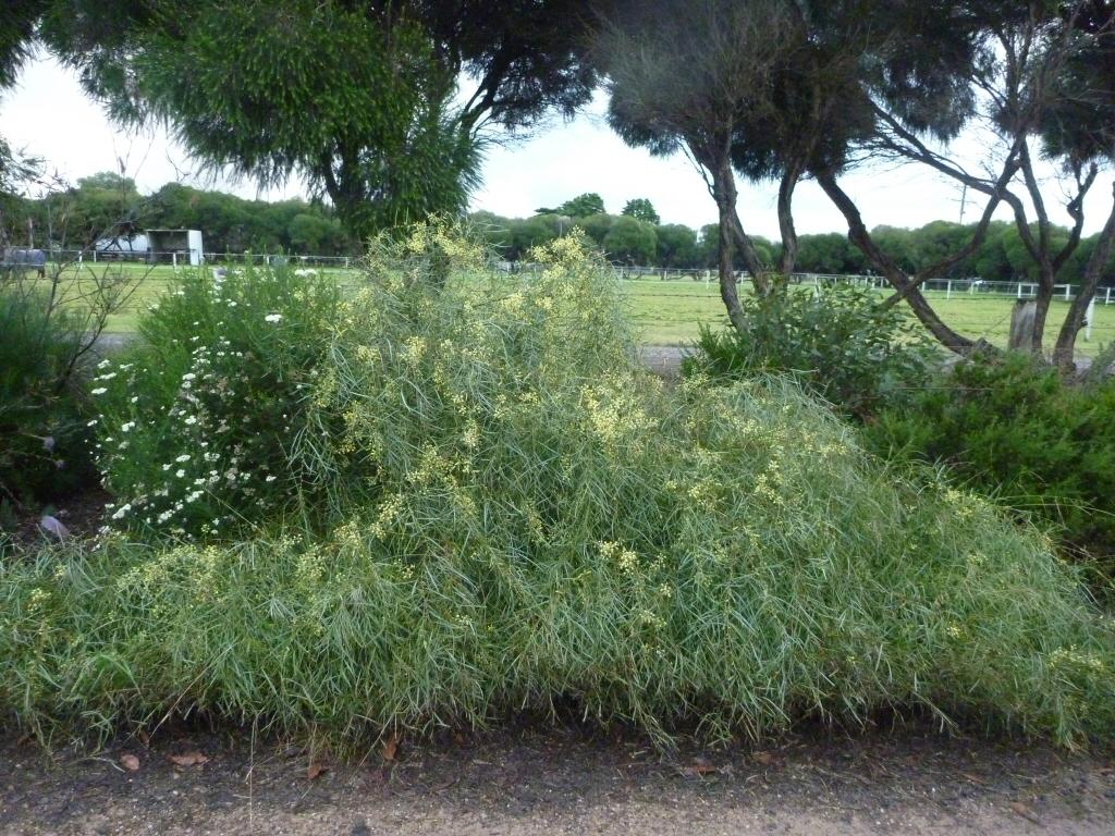 Acacia Iteaphylla Flinders Range Wattle Gardening With Angus