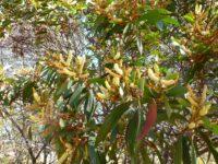 Acacia leiocalyx - black wattle