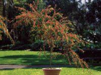 Acacia leprosa wattle 'Scarlet Blaze'