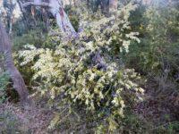 Acacia oxycedrus - spike wattle