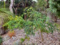 Acacia pulchella - prickly moses wattle