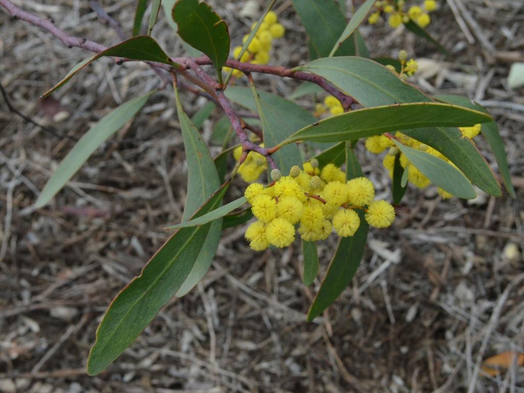 Acacia Pycnantha Golden Wattle Gardening With Angus