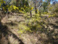 Acacia restiacea - wattle