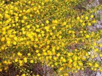 Acacia spathulifolia wattle 'Gold Carpet'