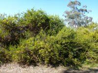 Acacia triptera - spur wing wattle