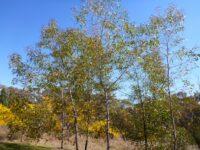 Acacia wardellii is a graceful wattle
