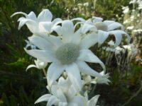 Actinotus helianthi - flannel flower