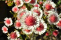 Actonidium cunninghamii - swamp daisy